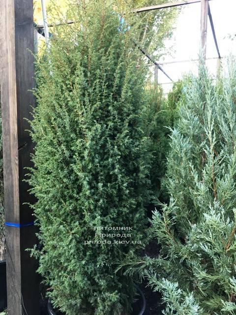 Ялівець звичайний Хіберніка (Juniperus communis Hibernica) ФОТО Розплідник рослин Природа Priroda (237)