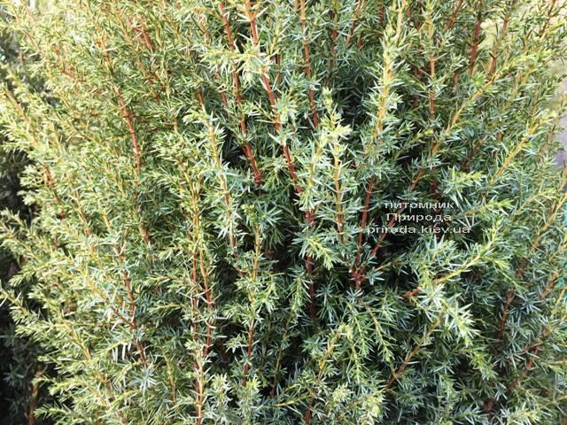 Ялівець звичайний Хіберніка (Juniperus communis Hibernica) ФОТО Розплідник рослин Природа Priroda (239)