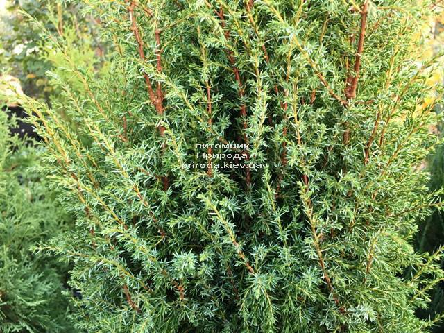 Ялівець звичайний Хіберніка (Juniperus communis Hibernica) ФОТО Розплідник рослин Природа Priroda (240)