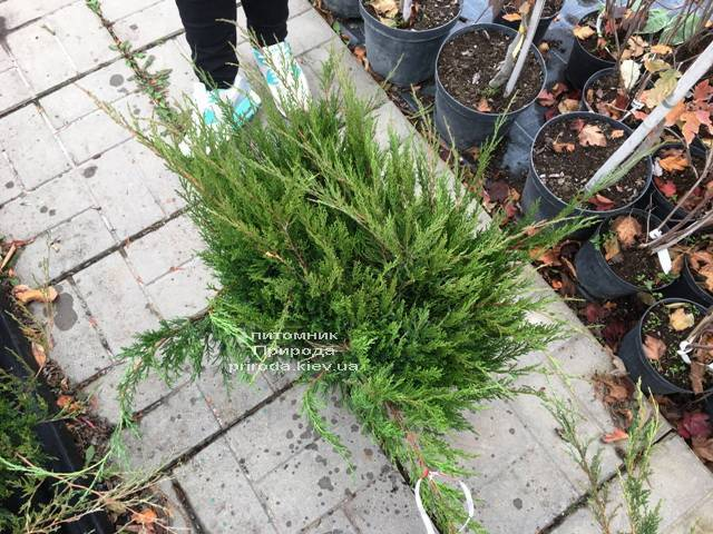 Можжевельник средний / пфитцериана Минт Джулеп (Juniperus media / pfitzeriana Mint Julep) ФОТО Питомник растений Природа Priroda (241)