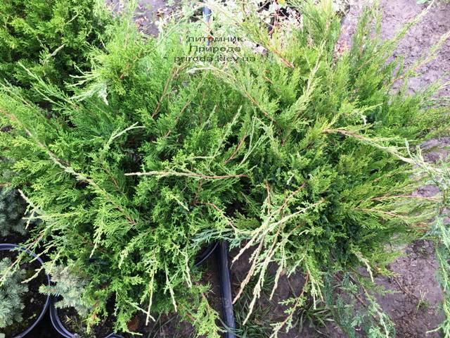 Можжевельник средний / пфитцериана Минт Джулеп (Juniperus media / pfitzeriana Mint Julep) ФОТО Питомник растений Природа Priroda (242)