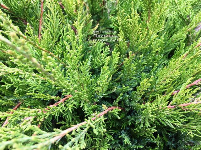 Можжевельник средний / пфитцериана Минт Джулеп (Juniperus media / pfitzeriana Mint Julep) ФОТО Питомник растений Природа Priroda (243)
