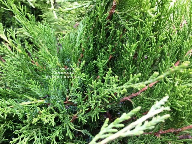 Ялівець середній / пфітцеріана Мінт Джулеп (Juniperus media / pfitzeriana Mint Julep) ФОТО Розплідник рослин Природа Priroda (244)