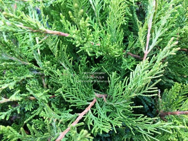 Можжевельник средний / пфитцериана Минт Джулеп (Juniperus media / pfitzeriana Mint Julep) ФОТО Питомник растений Природа Priroda (245)