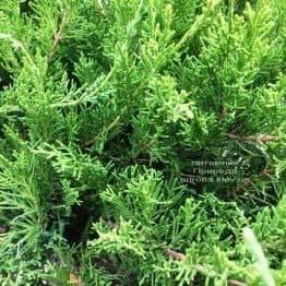 Можжевельник средний / пфитцериана Минт Джулеп (Juniperus media / pfitzeriana Mint Julep) ФОТО Питомник растений Природа Priroda (246)