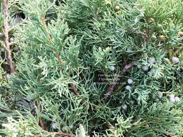 Можжевельник виргинский Хетц (Juniperus virginiana Hetz) ФОТО Питомник растений Природа Priroda (254)
