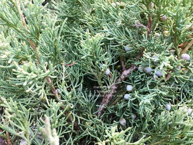 Можжевельник виргинский Хетц (Juniperus virginiana Hetz) ФОТО Питомник растений Природа Priroda (255)