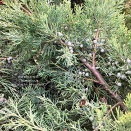 Ялівець віргінський Хетц (Juniperus virginiana Hetz) ФОТО Розплідник рослин Природа Priroda (257)