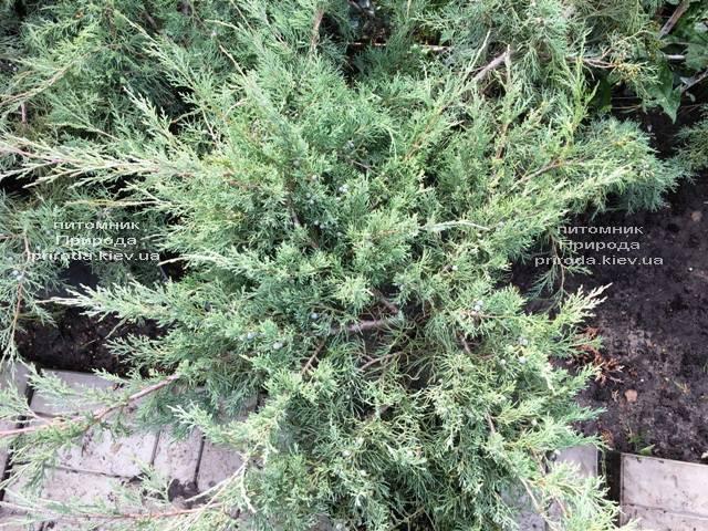 Можжевельник виргинский Хетц (Juniperus virginiana Hetz) ФОТО Питомник растений Природа Priroda (258)