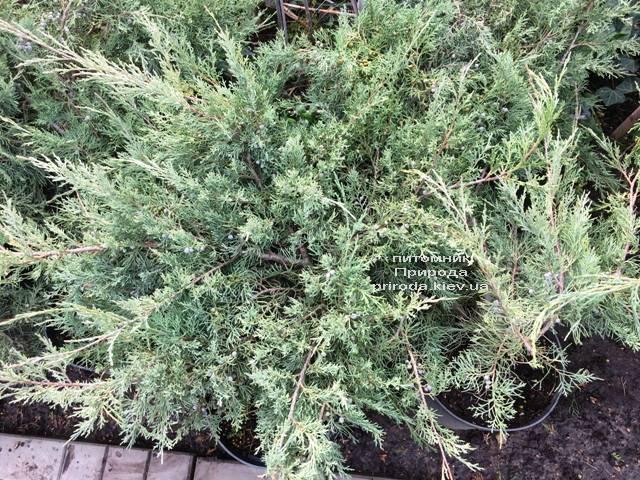 Можжевельник виргинский Хетц (Juniperus virginiana Hetz) ФОТО Питомник растений Природа Priroda (259)