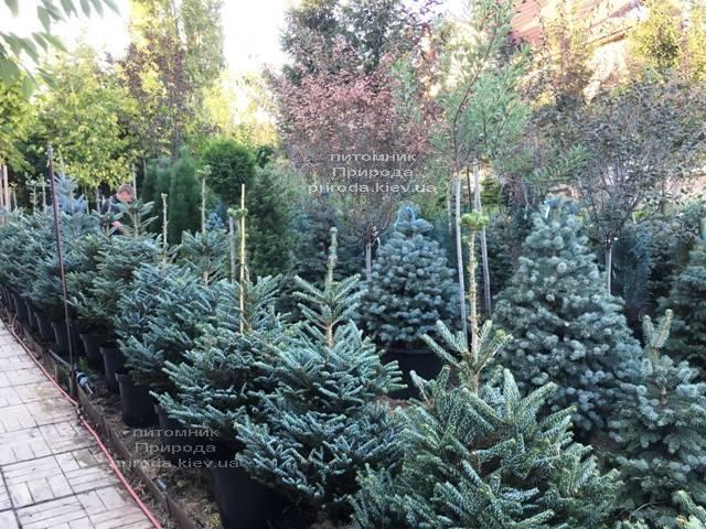 Пихта корейская Силберлок (Abies koreana Silberlocke) ФОТО Питомник растений Природа Priroda (83)