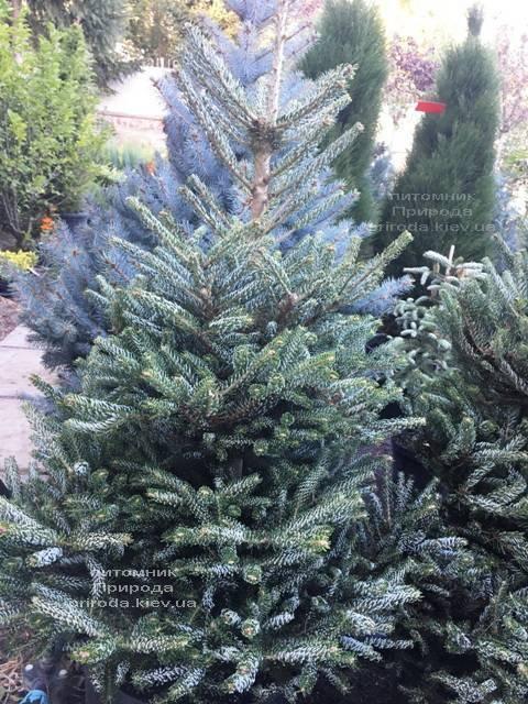 Пихта корейская Силберлок (Abies koreana Silberlocke) ФОТО Питомник растений Природа Priroda (84)