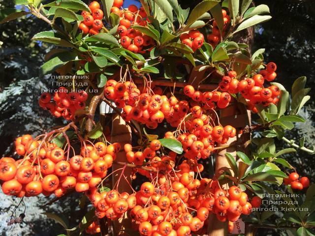 Пираканта (Pyracantha) ФОТО Розплідник рослин Природа Priroda (11)