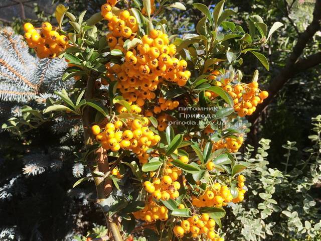 Пираканта (Pyracantha) ФОТО Розплідник рослин Природа Priroda (10)