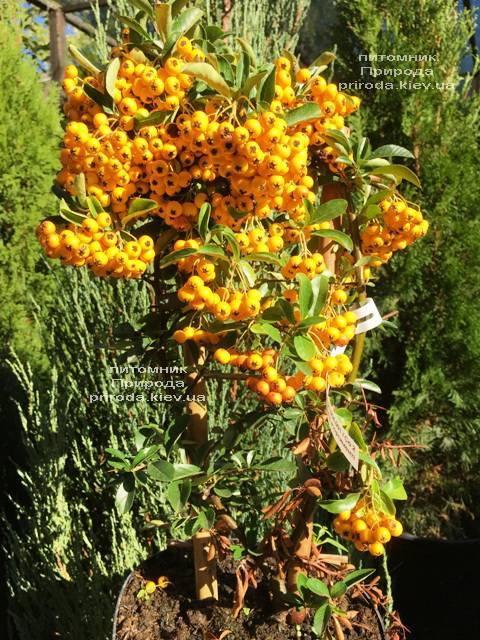 Пираканта (Pyracantha) ФОТО Розплідник рослин Природа Priroda (9)