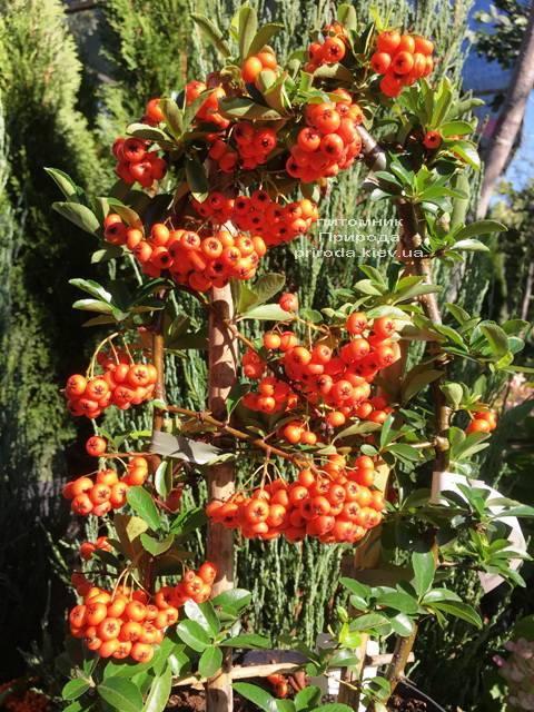 Пираканта (Pyracantha) ФОТО Розплідник рослин Природа Priroda (8)