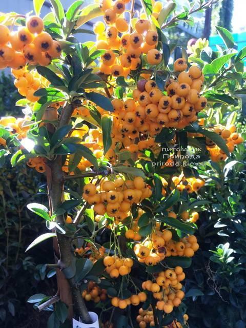 Пираканта (Pyracantha) ФОТО Питомник растений Природа Priroda (4)