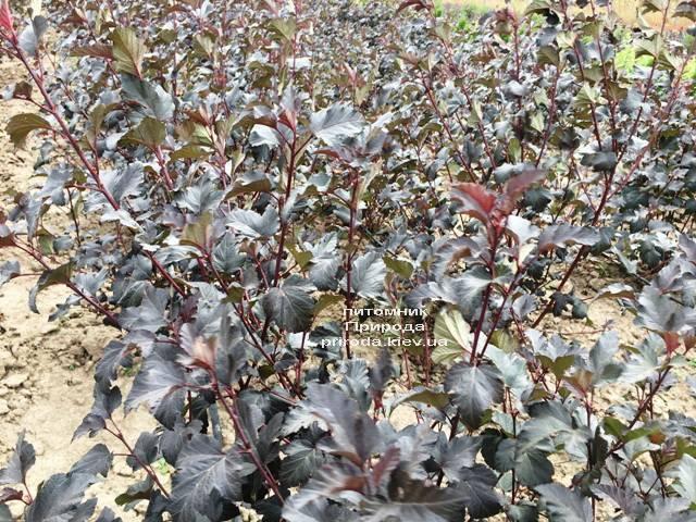 Міхуроплідник калінолістний Диаболо (Physocarpus opulifolius Diabolo) ФОТО Розплідник рослин Природа Priroda (22)