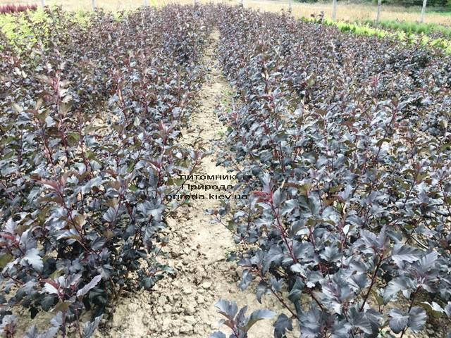 Міхуроплідник калінолістний Диаболо (Physocarpus opulifolius Diabolo) ФОТО Розплідник рослин Природа Priroda (20)