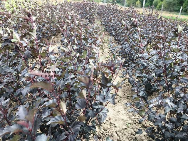 Міхуроплідник калінолістний Диаболо (Physocarpus opulifolius Diabolo) ФОТО Розплідник рослин Природа Priroda (21)