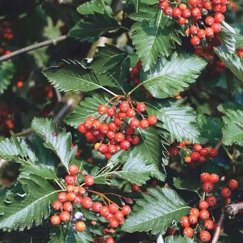 Рябина промежуточная (шведская / скандинавская) (Sorbus intermedia) ФОТО Питомник растений Природа Priroda (22)