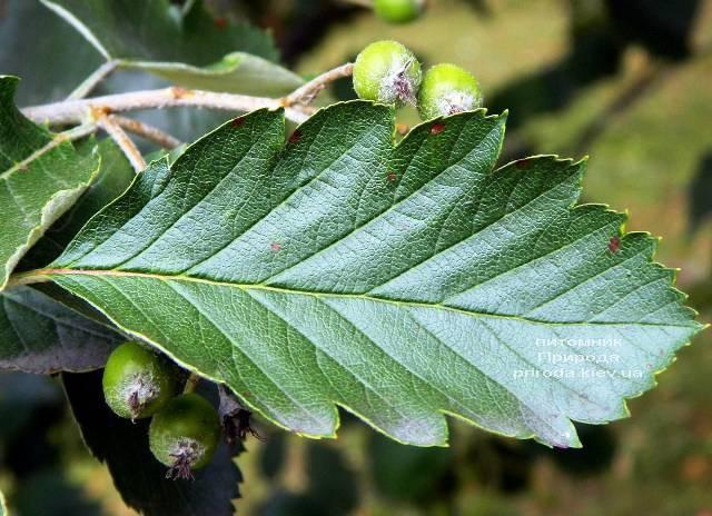 Горобина проміжна (шведська / скандинавська) (Sorbus intermedia) ФОТО Розплідник рослин Природа Priroda (23)