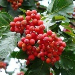 Рябина промежуточная (шведская / скандинавская) (Sorbus intermedia) ФОТО Питомник растений Природа Priroda (24)
