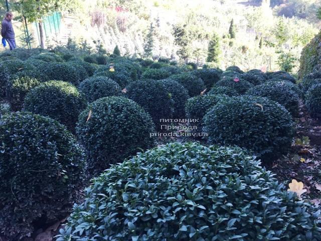Самшит вічнозелений Куля (Buxus sempervirens Boll) ФОТО Розплідник рослин Природа Priroda (20)