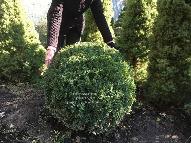Самшит вічнозелений Куля (Buxus sempervirens Boll) ФОТО Розплідник рослин Природа Priroda (21)