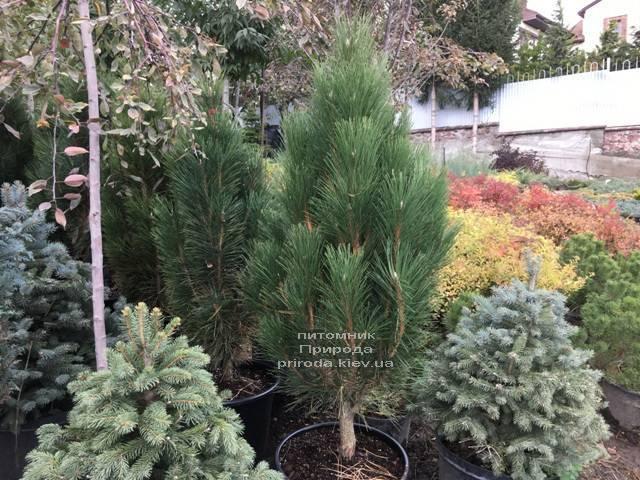 Сосна чорна Грін Тауер (Pinus nigra Green Tower) ФОТО Розплідник рослин Природа Priroda (118)