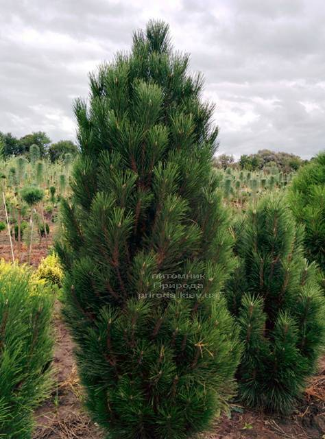 Сосна чорна Грін Тауер (Pinus nigra Green Tower) ФОТО Розплідник рослин Природа Priroda (121)