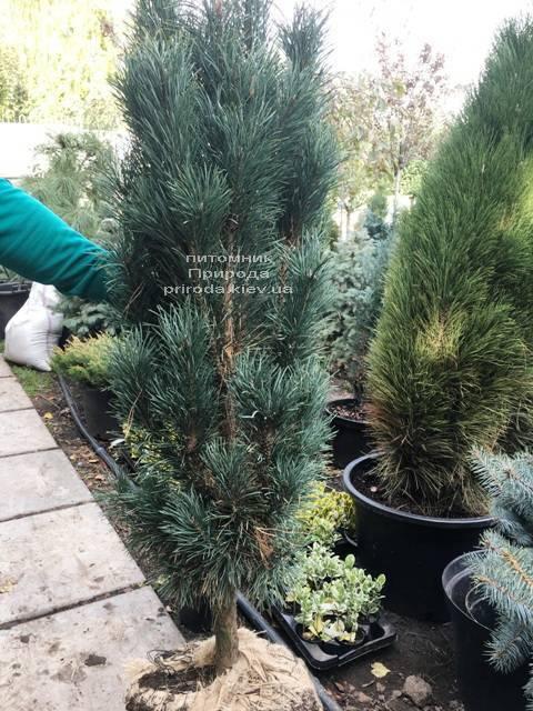 Сосна обыкновенная Фастигиата (Pinus sylvestris Fastigiata) ФОТО Питомник растений Природа Priroda (112)