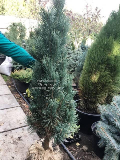 Сосна обыкновенная Фастигиата (Pinus sylvestris Fastigiata) ФОТО Питомник растений Природа Priroda (113)