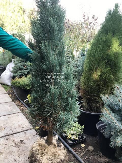 Сосна обыкновенная Фастигиата (Pinus sylvestris Fastigiata) ФОТО Питомник растений Природа Priroda (114)