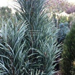 Сосна обыкновенная Фастигиата (Pinus sylvestris Fastigiata) ФОТО Питомник растений Природа Priroda (116)