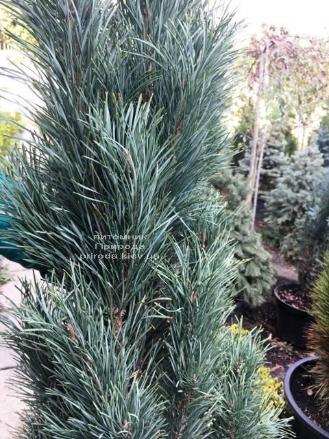Сосна обыкновенная Фастигиата (Pinus sylvestris Fastigiata) ФОТО Питомник растений Природа Priroda (117)