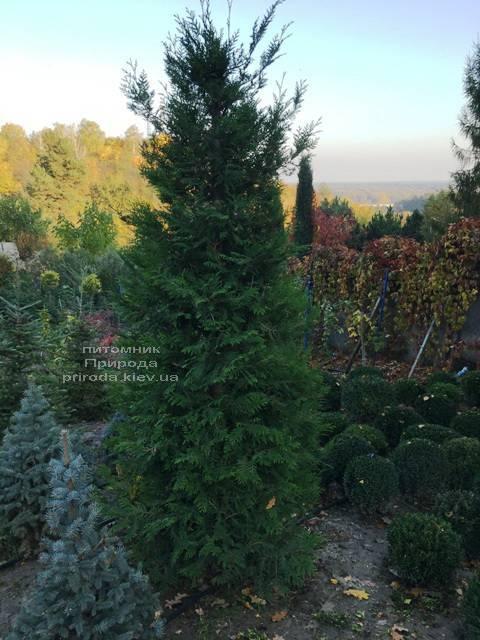 Туя складчатая гиганская (Thuja plicata) ФОТО Питомник растений Природа Priroda (84)