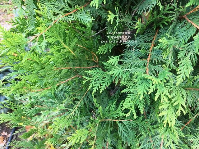 Туя складчатая гиганская (Thuja plicata) ФОТО Питомник растений Природа Priroda (86)
