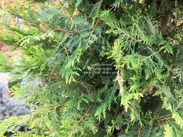 Туя складчатая гиганская (Thuja plicata) ФОТО Питомник растений Природа Priroda (87)