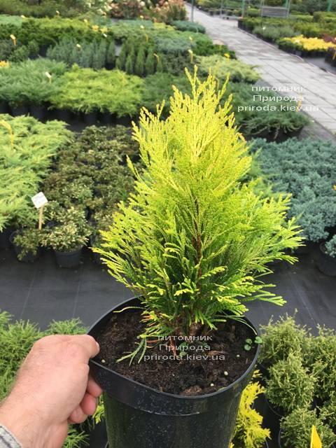 Туя складчаста Голді (Thuja plicata Goldy) ФОТО Розплідник рослин Природа Priroda (72)