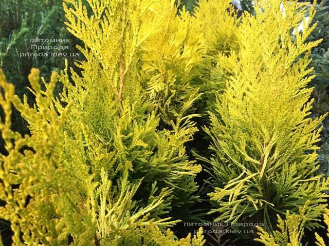 Туя складчаста Голді (Thuja plicata Goldy) ФОТО Розплідник рослин Природа Priroda (73)