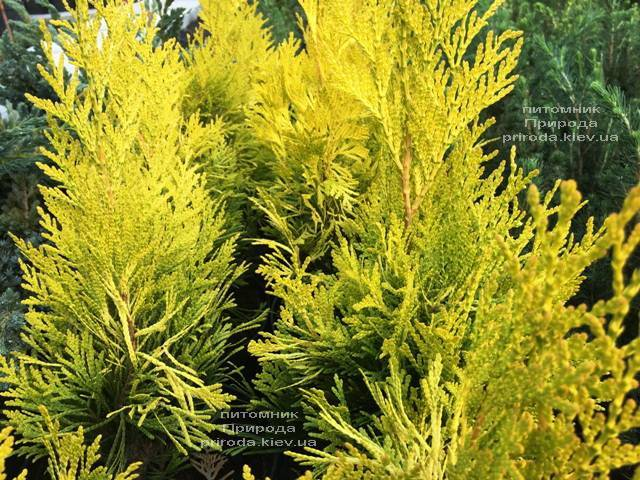 Туя складчаста Голді (Thuja plicata Goldy) ФОТО Розплідник рослин Природа Priroda (74)
