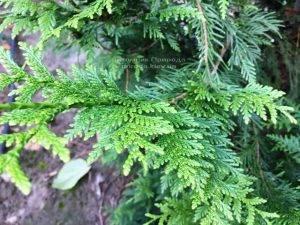 Туя складчатая Корник (Thuja plicata Kornik) ФОТО Питомник растений Природа Priroda (75)