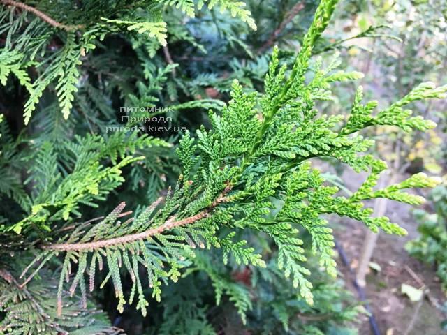 Туя складчаста Корнік (Thuja plicata Kornik) ФОТО Розплідник рослин Природа Priroda (77)