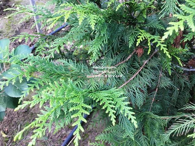 Туя складчаста Корнік (Thuja plicata Kornik) ФОТО Розплідник рослин Природа Priroda (78)