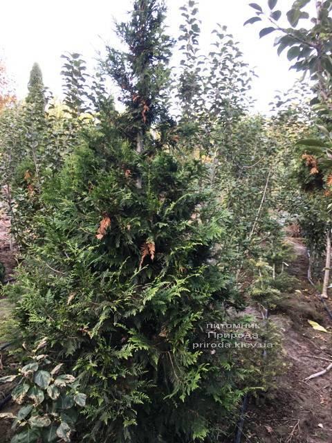 Туя складчаста Корнік (Thuja plicata Kornik) ФОТО Розплідник рослин Природа Priroda (79)