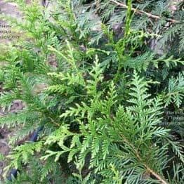 Туя складчаста Корнік (Thuja plicata Kornik) ФОТО Розплідник рослин Природа Priroda (81)