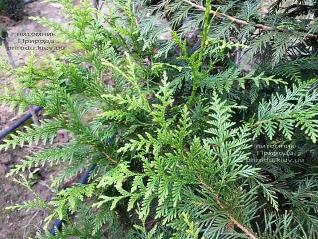 Туя складчатая Корник (Thuja plicata Kornik) ФОТО Питомник растений Природа Priroda (81)