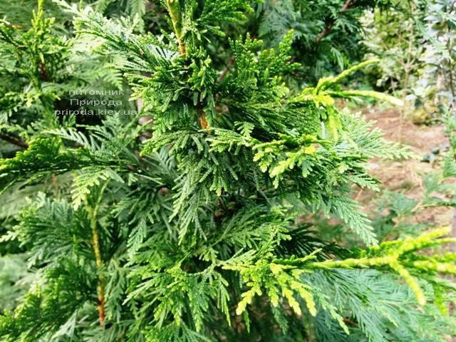 Туя складчаста Корнік (Thuja plicata Kornik) ФОТО Розплідник рослин Природа Priroda (83)