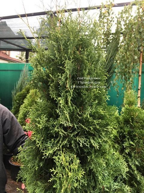 Туя западная колоновидная Колумна (Thuja occidentalis Columna) ФОТО Питомник растений Природа Priroda (98)
